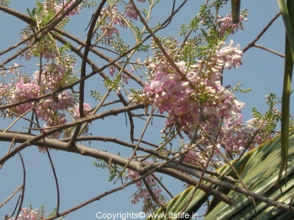 Mexican Lilac