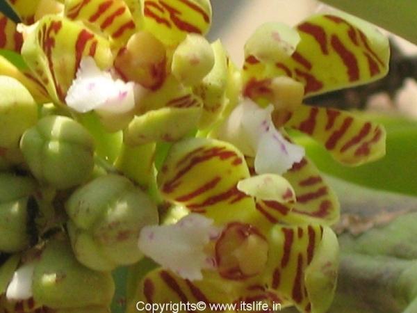 Orchid Acampe Praemorsa