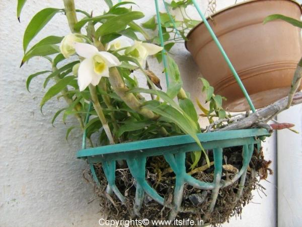 Dendrobium Aqueum
