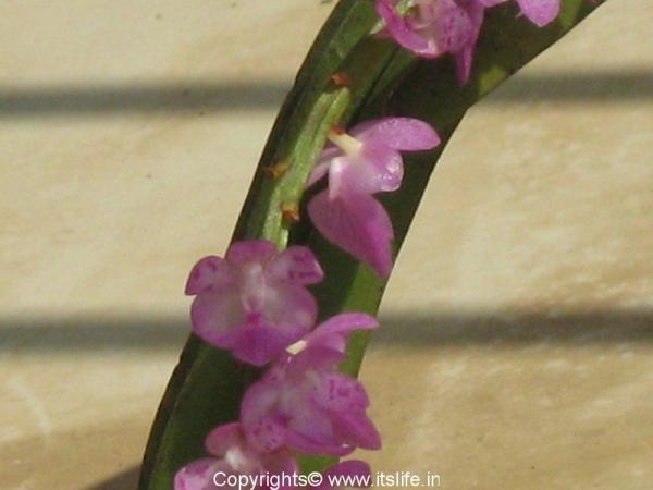 Orchid Wild Ascocentrum Christensoniana