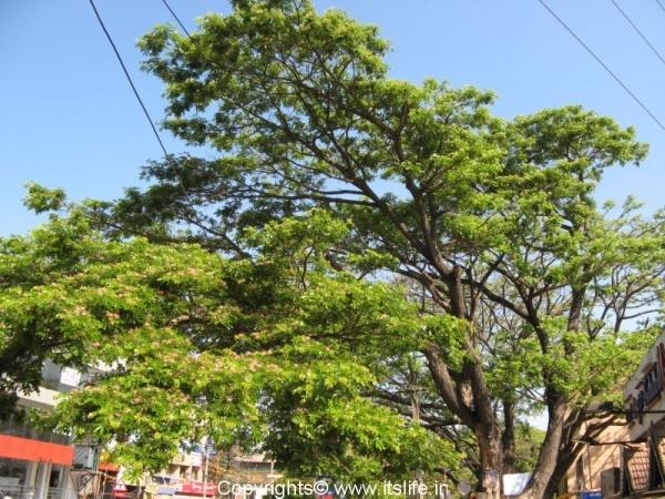 Rain Tree