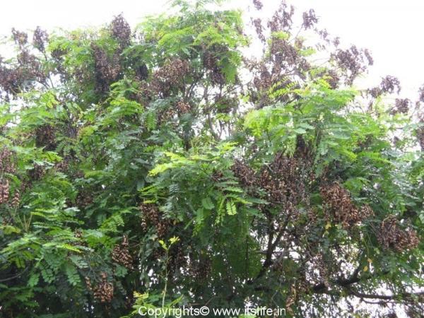 Saga Tree