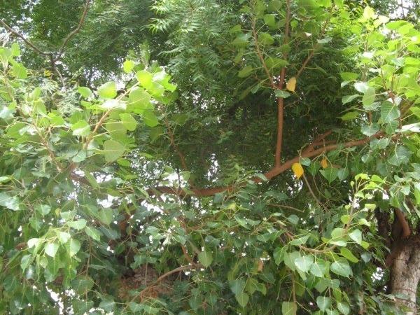 Peepal Tree | Bodhi Tree | Ashwatha Vriksha | Arali Mara