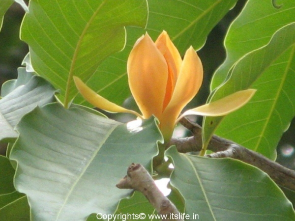 Champaka Flower