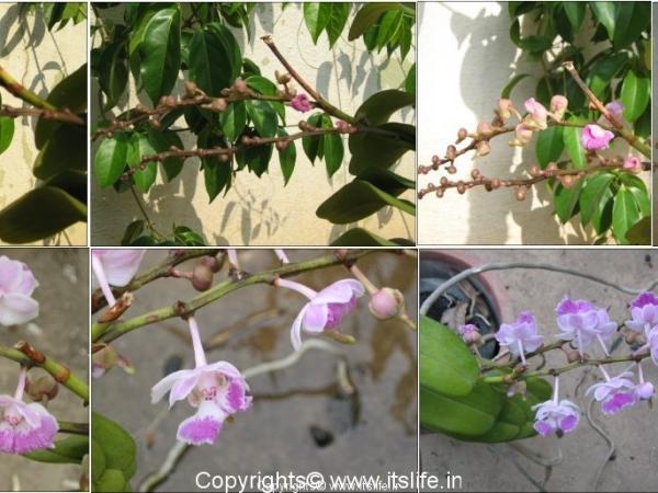Orchid Aerides Maculosum