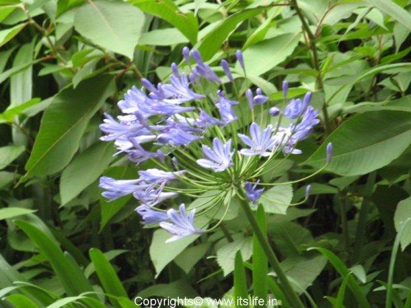 gardening-agapanthus-africanus-african-blue-lily.jpg
