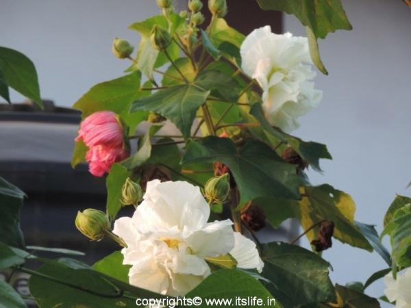 White Confederate Rose