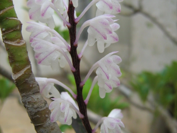 Orchid Aerides Ringens
