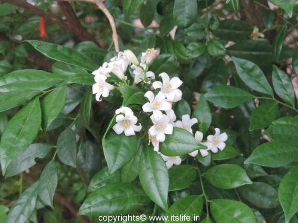 gardening-chinese-box-jasmine (1)