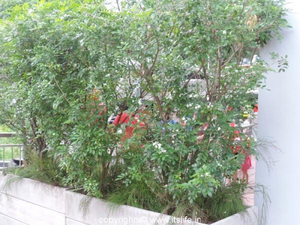 gardening-chinese-box-jasmine (2)