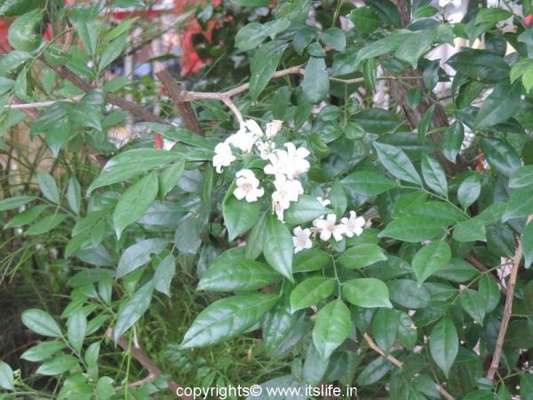 gardening-chinese-box-jasmine (3)