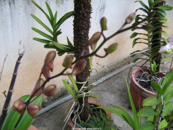 Dendrobium Midnight Velveth