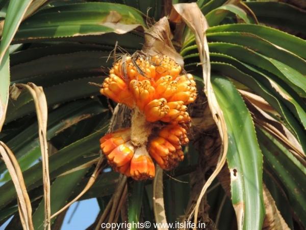 Kewda Fruit
