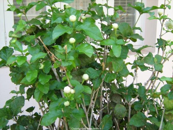 Mysore Mallige Plant