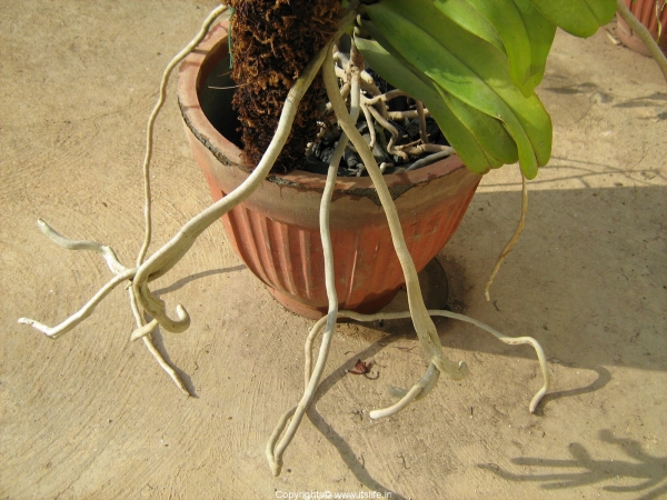 Orchid Aerial Roots