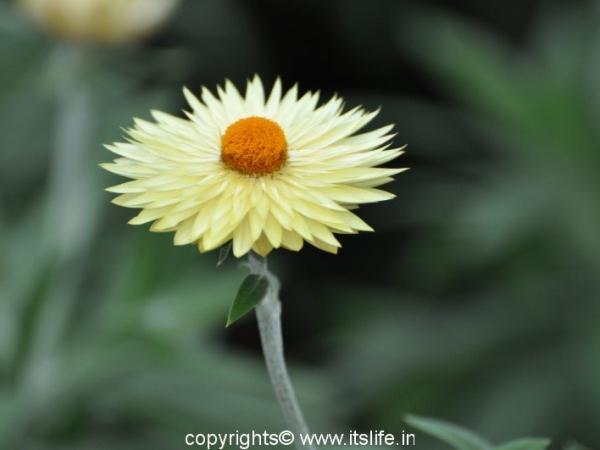 Nilgiri Everlasting Flowers
