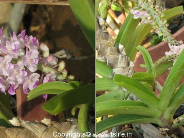 Orchid Rhynchostylis Retusa