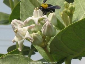 Arka flower