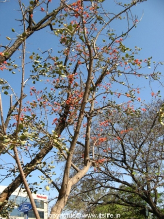 Indian Coral Tree