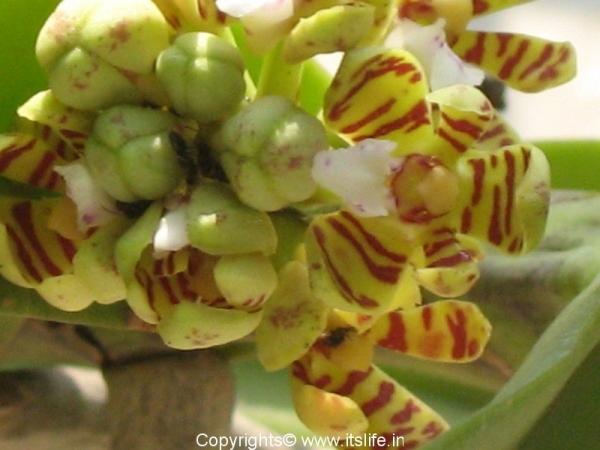 Acampe Praemorsa Orchid