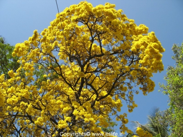 Tabebuia aurea for Garden trees with yellow flowers