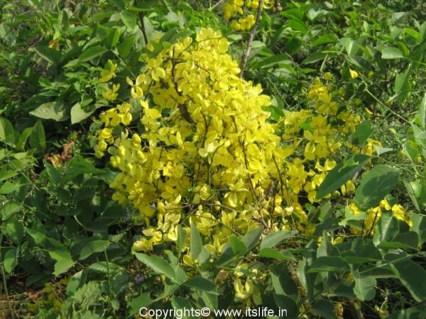 garden-trees-mahua-brhills3.jpg