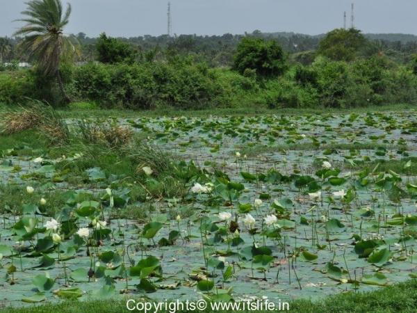 garden-white-lotus