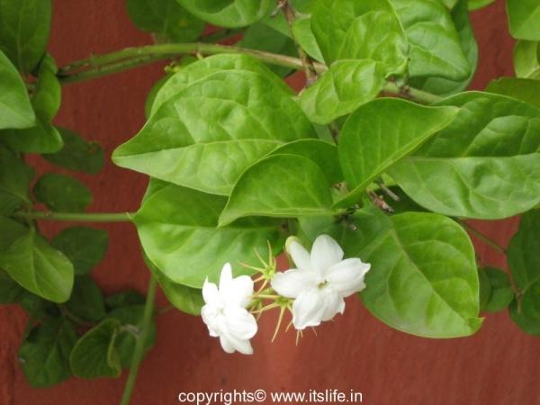Mysore Jasmine