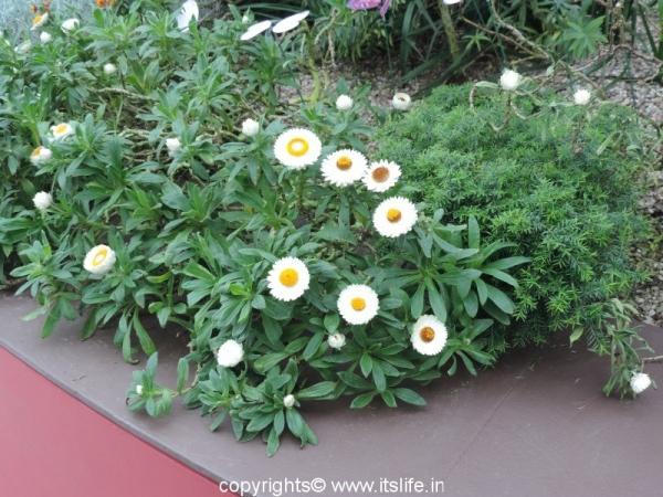 Everlasting Flowers