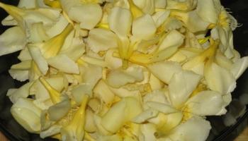 Oleander - Kanagale