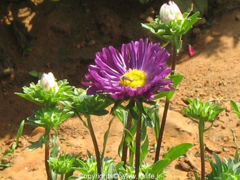 Aster Flower In Kannada Best Flower Wallpaper
