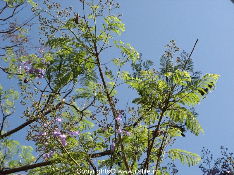 Jacaranda | Jacaranda Mimosifolia | Jacaranda Tree