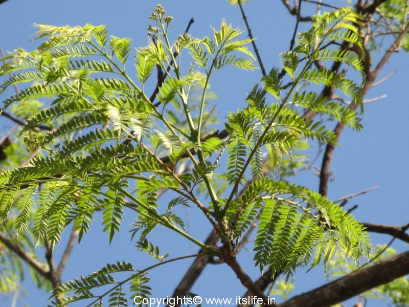 Jacaranda Tree Leaf | www.pixshark.com - Images Galleries ...