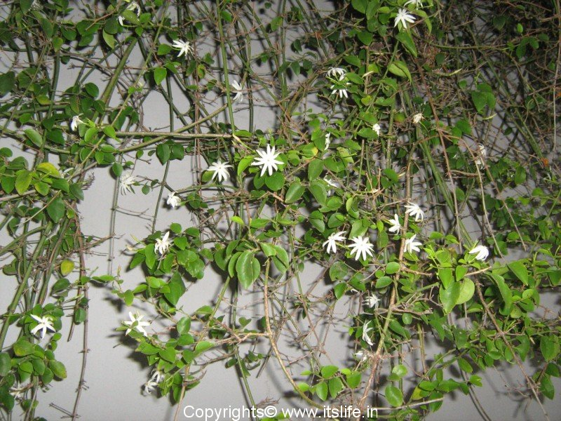 Sanna marale or sanna mallige itslife sanna marale or sanna mallige is native of india nepal sri lanka and bhutan it is popular because of the fragrance of the small white flowers mightylinksfo