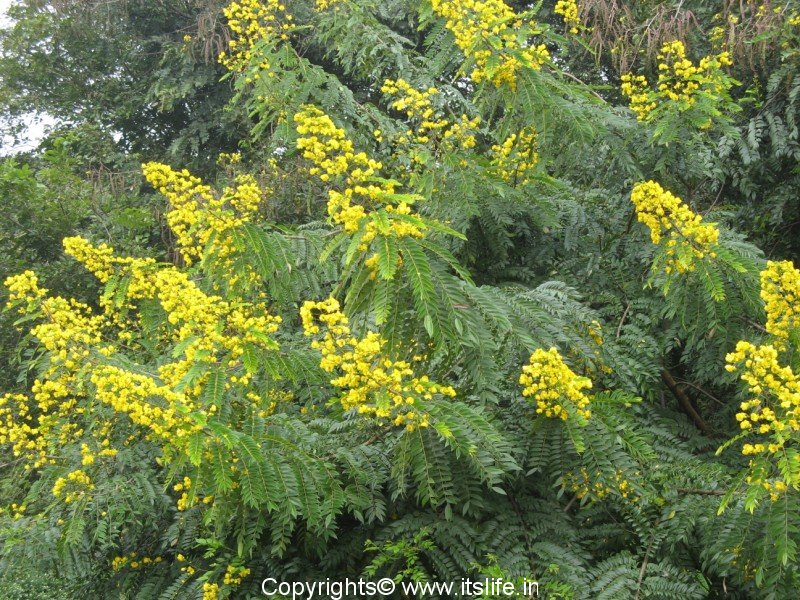 Cassia fistula Golden Shower Tree Ellenby Tree Farm