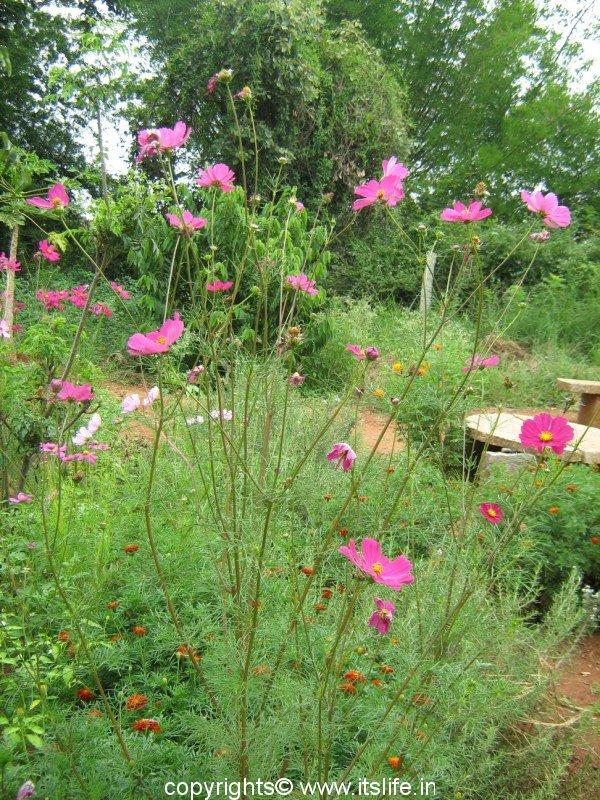 Cosmos gardening perennial garden flowers cosmos mightylinksfo