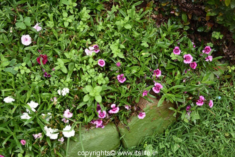 Dianthus | China Pink | Itslife in | Indian Pink | Rainbow Pink