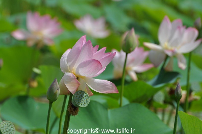 Lotus aquatic plant kamal padma lotus flower kamala lotus mightylinksfo