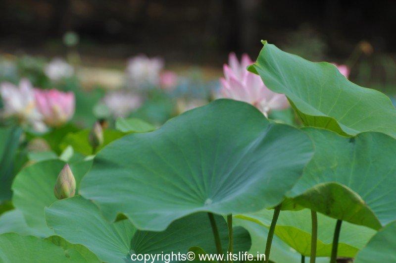 Lotus   Aquatic Plant   Kamal   Padma   Lotus Flower   Kamala