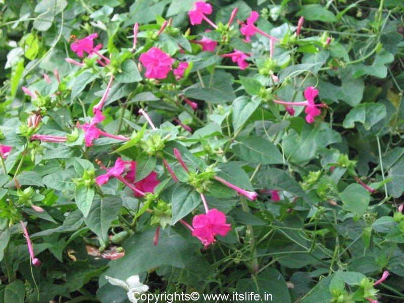 Four o clock flowers sanje mallige gardening perennials sanjemallige mightylinksfo
