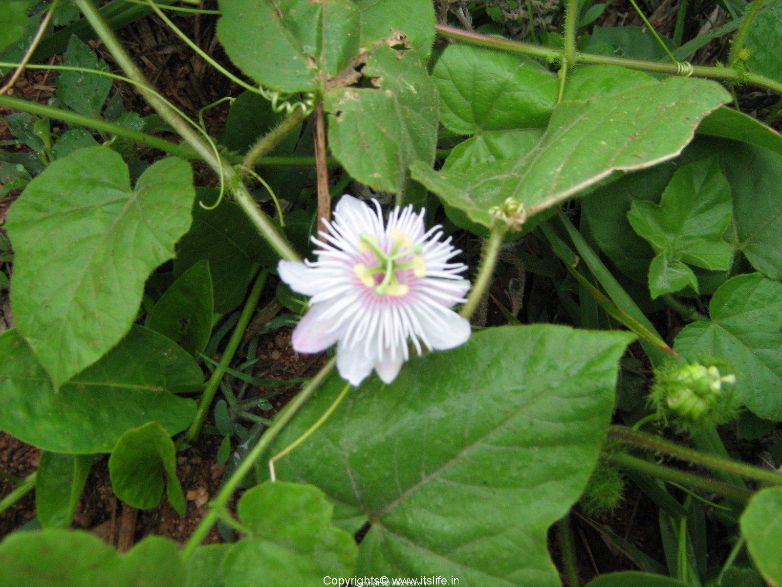 Passion Flower Passion Fruit Gardening Passiflora