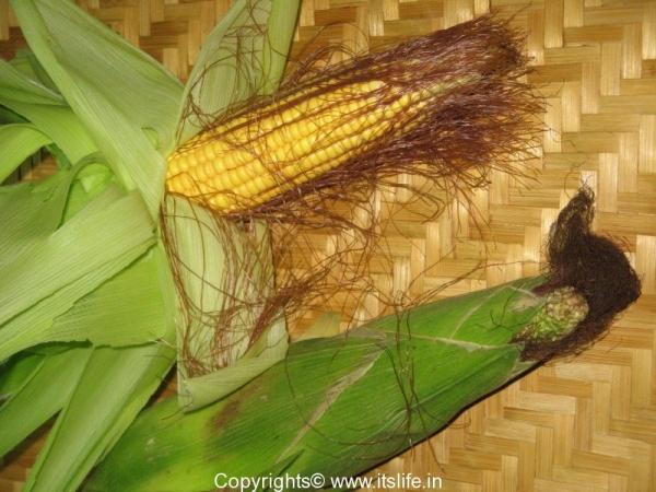 Corn - Maize
