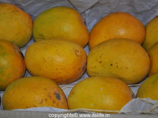 Alphonso Mango - Apoos