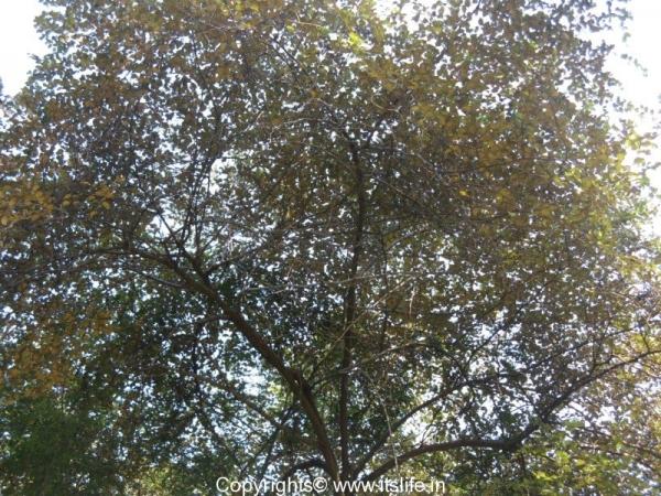 Indian Jujube Tree