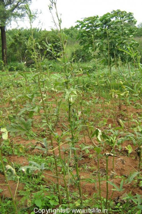 Vendekayi Plant