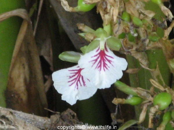 Cardamom flower