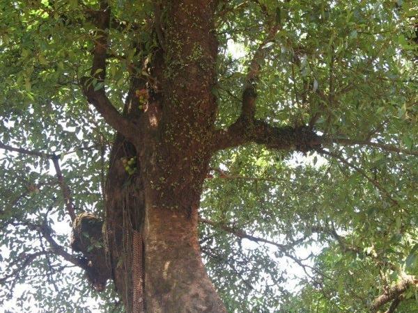 Goolar (Gular) Fig