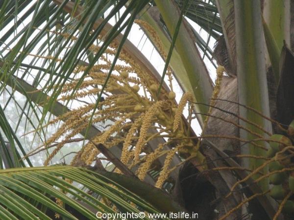 Coconut Flower