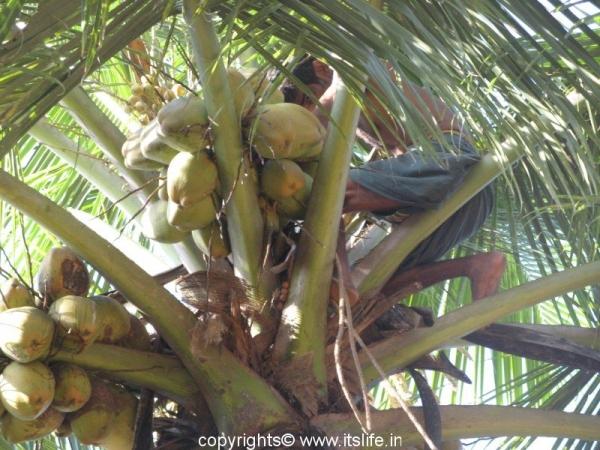 Coconut harvesting