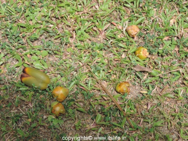 Coconut young fruits